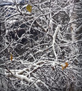Winter background with snow-covered birch branches Royalty Free Stock Photo