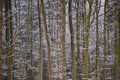 Winter beech forest background Royalty Free Stock Photo