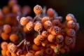Winter berries Royalty Free Stock Photo