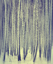 Winter birch forest landscape Stock Photos