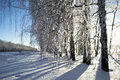 Winter birch grove large frost Royalty Free Stock Images
