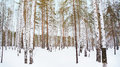 Winter birch grove in the russian forest Royalty Free Stock Image