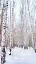 Winter birch grove in the russian forest Royalty Free Stock Images