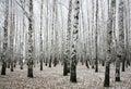 Winter birches in autumn Royalty Free Stock Photo