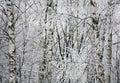 Winter birches Royalty Free Stock Photo