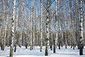 Winter birches on blue sky Royalty Free Stock Photo