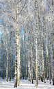 Winter birches in sunlight Royalty Free Stock Photo