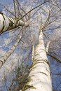 Winter birches in white rime Royalty Free Stock Images
