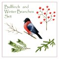 Winter bird bullfinch and twigs viburnum, spruce, pine on which she can sit in composition isolated on a white background Royalty Free Stock Photo