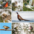 Winter birds collage. Royalty Free Stock Photography
