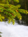 Winter Branch Of firtree Royalty Free Stock Photo