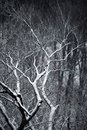 Winter branches snowy of a large tree Stock Photos