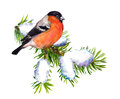 Winter bullfinch on spruce with snow. Watercolor
