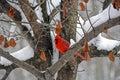Winter Cardinal Stock Photography