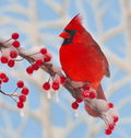 Winter Cardinal At Icy Berries. Royalty Free Stock Photo
