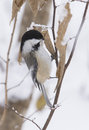 Winter chickadee black capped poecile atricapillus looking for food in Royalty Free Stock Images
