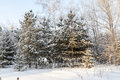 Winter christmas trees covered snow forest Stock Photo