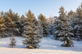 Winter christmas trees covered trees covered with snow in the forest Stock Photography
