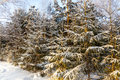 Winter christmas trees covered trees covered with snow in the forest Stock Images