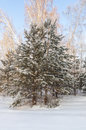 Winter christmas trees covered trees covered snow forest Stock Photography