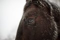 Winter close up horse portrait of dark brown Royalty Free Stock Image