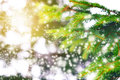 Winter concept. Spruce branches on a colorful background with sparkles and stars. Holidays. Forest and sunlight Royalty Free Stock Photo