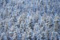 Winter coniferous forest the beautiful january wood after a blizzard Stock Photography