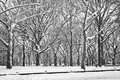 Winter contrast sycamore trees coated in fresh snow provides in this central park scene Stock Images