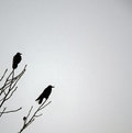 Winter Crows Royalty Free Stock Photo