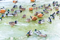 Winter ducks mixed colony of wintering Royalty Free Stock Photography
