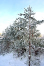 Winter evening landscape in forest with pines Stock Images