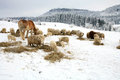 Winter on the farm herd of sheep skudde and horse haflinger eat hay meadow covered with snow Stock Images