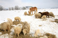 Winter on the farm herd of sheep skudde and horse haflinger eat hay meadow covered with snow Stock Photos
