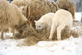Winter on the farm herd of sheep skudde with lamb eating hay meadow covered with snow Royalty Free Stock Photos