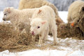 Winter on the farm herd of sheep skudde with lamb eating hay meadow covered with snow Stock Images