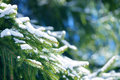 Winter fir tree branches covered with snow. Frozen spruce tree branch in winter forest. Royalty Free Stock Photo