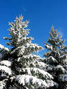 Winter fir trees under snow Royalty Free Stock Photos