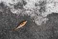 Winter fishing perch fish on ice the Stock Photos