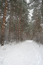 Winter foggy landscape in forest with pines Stock Image