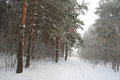 Winter foggy landscape in forest with pines Stock Photos
