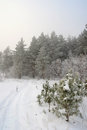Winter foggy landscape in forest with pines Royalty Free Stock Images