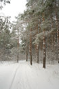 Winter foggy landscape in forest with pines Royalty Free Stock Image