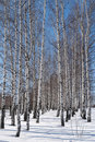 Winter forest of birches day Royalty Free Stock Photo