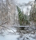 Winter forest. coniferous tree covered with snow on the river bank Royalty Free Stock Photo