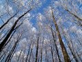 Winter forest-horizontal Royalty Free Stock Photo