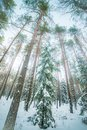 Winter forest landscape of tall trees Royalty Free Stock Photo