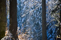 Winter into the forest with snow on the trees and sun light through brances Royalty Free Stock Images