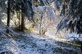 Winter into the forest with snow on the trees and sun light through brances Royalty Free Stock Photo