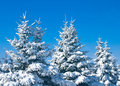 Winter forest - snowy firtrees Stock Photography