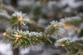 Winter frost on christmas tree. Stock Images